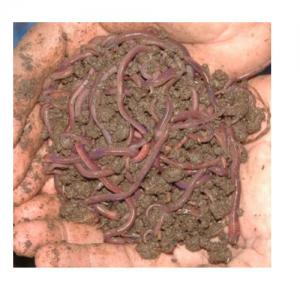 Agricultural Earthworm